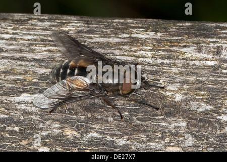 Horsefly, Horse-fly, Bremsen, Bremse, Pferdefliege, Männchen, Hybomitra bimaculata, male, Tabanidae, Horseflies, - Stock Photo