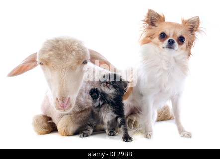 young lamb, kitten and chihuahua in front of white background - Stock Photo