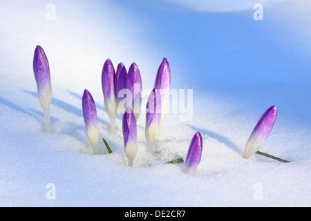 Purple Spring Crocuses or Giant Crocuses (Crocus vernus), closed flowers in snow, Westerwald, Solms, Hesse, Germany - Stock Photo