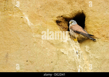 Common kestrel (Falco tinnunculus), sitting at the entrance to its natural nesting hole - Stock Photo
