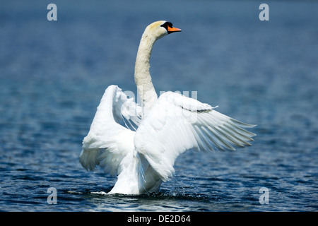 Mute Swan (Cygnus olor) shaking wings, Lake Zug, Zug, Switzerland, Europe - Stock Photo