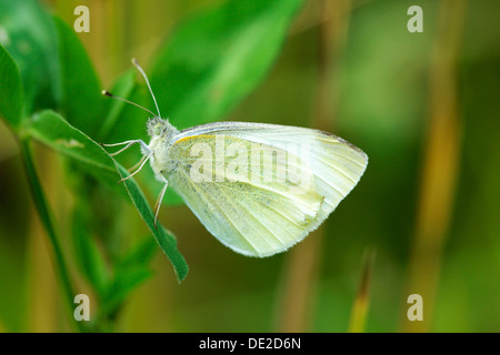 Green-veined White (Pieris napi), underside, Zug, Switzerland, Europe - Stock Photo