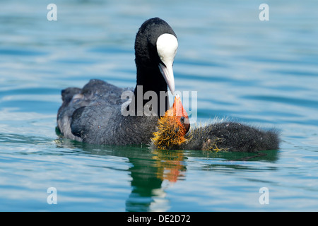 Coot (Fulica atra), feeding young, Lake Zug, Zug, Switzerland, Europe - Stock Photo