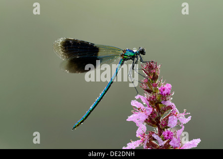 Banded Demoiselle (Calopteryx splendens), male, Reussspitz, Maschwanden, Switzerland, Europe - Stock Photo