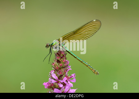 Banded Demoiselle (Calopteryx splendens), female, Reussspitz, Maschwanden, Switzerland, Europe - Stock Photo