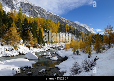 Autumnal coloured Larch (Larix) forest in the freshly snow-covered Val Roseg valley, Pontresina, Grisons, Engadine, - Stock Photo