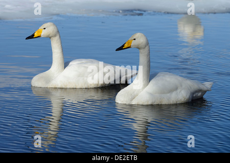 Two Whooper Swans (Cygnus cygnus), swimming side by side, Kussharo Lake, Kawayu Onsen, Hokkaido, Japan - Stock Photo