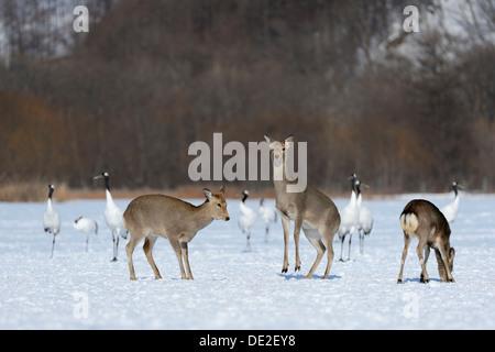 Hokkaido sika deer, Spotted deer or Japanese deer (Cervus nippon yesoensis), hinds, Red-crowned Cranes, Japanese - Stock Photo
