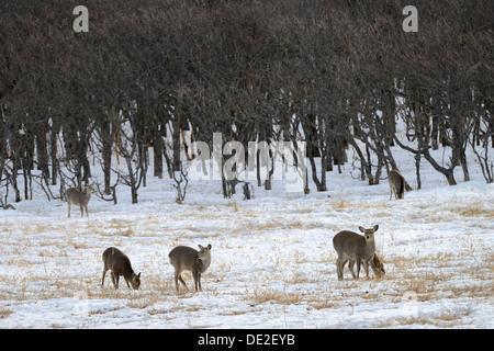 Hokkaido sika deer, Spotted deer or Japanese deer (Cervus nippon yesoensis), standing in a snow-covered landscape - Stock Photo