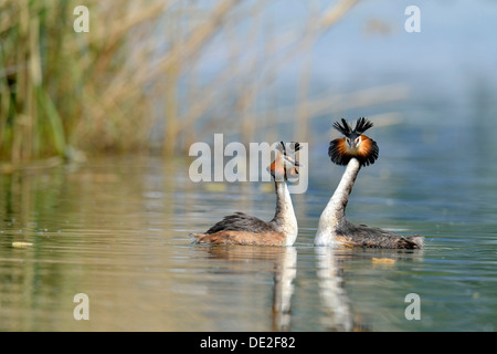 Great Crested Grebes (Podiceps cristatus) during a courtship display, Lake Lucerne, Luzern, Canton of Lucerne, Switzerland - Stock Photo