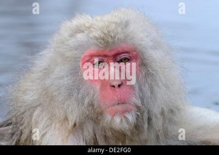 Japanese Macaque or Snow Monkey (Macaca fuscata), portrait, Affenpark Jigokudani, Nagano Präfektur, Japan - Stock Photo