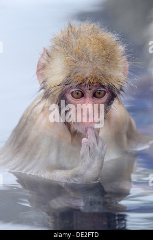 Young Japanese Macaque or Snow Monkey (Macaca fuscata), sucking finger, Affenpark Jigokudani, Nagano Präfektur, - Stock Photo