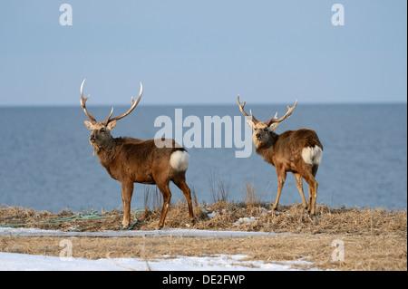 Two Hokkaido sika deer, Spotted deer or Japanese deer (Cervus nippon yesoensis), males, stags, Sea of Okhotsk - Stock Photo
