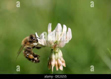 Bee (Apiforme) on a white clover flower - Stock Photo