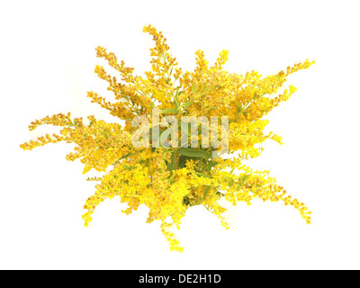 Blooming goldenrod plant isolated on white background - Stock Photo