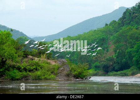 Nature, bird migration over the Nam Ou River, white herons (Ardeidae), Samphan district, Phongsali province, Laos - Stock Photo