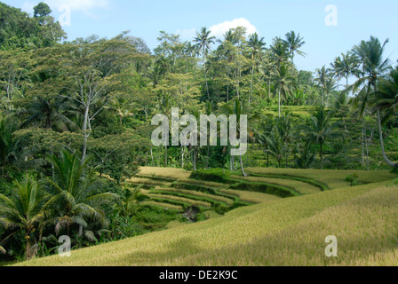 Rice paddies, rice terraces and coconut palm trees near Ubud, Bali, Indonesia, Southeast Asia, Asia - Stock Photo