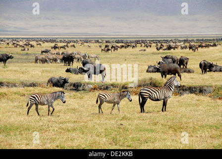 Common zebra, Plains zebra or Burchell's zebra (Equus quagga), three zebras, mare with two foals, Blue Wildebeest - Stock Photo