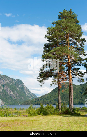 Old pine trees or Scots pines (Pinus sylvestris), Lake Bandak, Dalen, Telemark, Norway, Scandinavia, Northern Europe, - Stock Photo