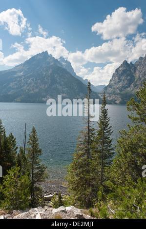 Conifers, Coastal Pine or Lodgepole Pine (Pinus contorta subsp. Latifolia), Jenny Lake, Grand Teton National Park, - Stock Photo