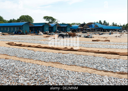 Fish is spread out to dry on the beach, fish market, Negombo, Sri Lanka - Stock Photo