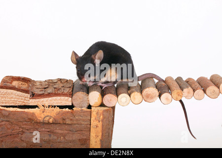 Fancy Mouse sitting on a wooden bridge, a domesticated form of the House Mouse (Mus musculus) - Stock Photo