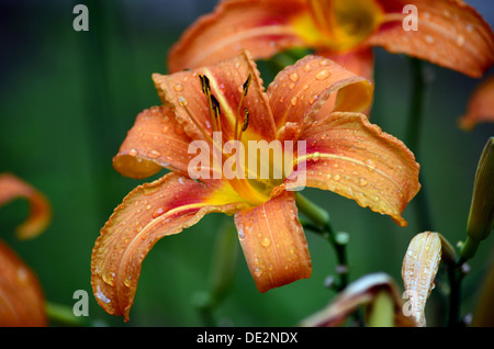 Just some flower after rain - Stock Photo
