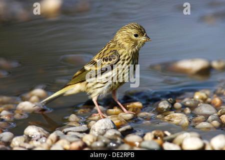 Serin (Serinus), female in water puddle - Stock Photo