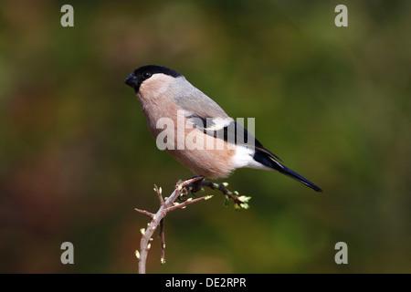 Bullfinch (Pyrrhula), female sitting on a plant - Stock Photo