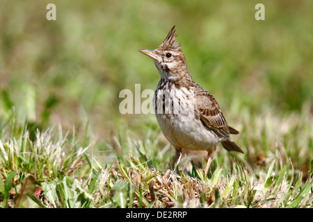 Crested Lark (Galerida cristata) sitting in grass - Stock Photo