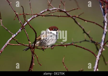 Spanish Sparrow (Passer hispaniolensis), male sitting on thorn bush, Exdremadura, Spain, Europe - Stock Photo