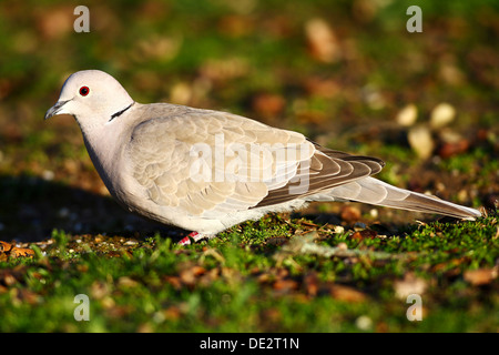 Eurasian Collared Dove (Streptopelia decaocto), National Park Monfrague, Exdremadura, Spain, Europe - Stock Photo