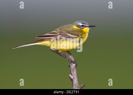 Yellow Wagtail (Motacilla flava), male sining on perch, Apetlon, Lake Neusiedl, Burgenland, Austria, Europe - Stock Photo