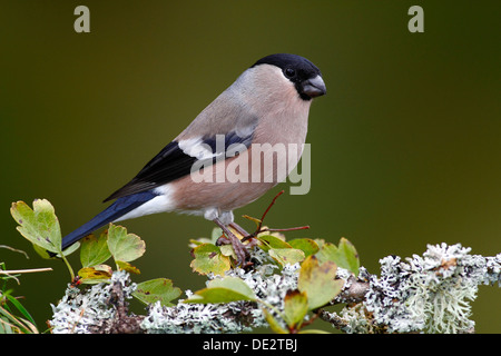 Eurasian Bullfinch (Pyrrhula pyrrhula), female sitting on a lichen-covered branch, Neunkirchen in Siegerland - Stock Photo