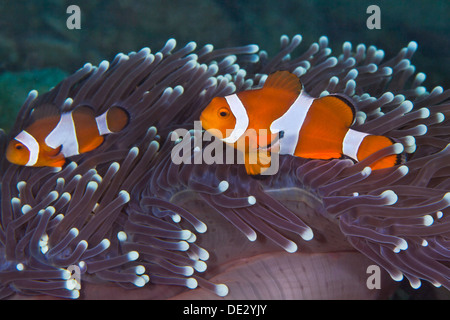 False clownfish, Amphiprion ocellaris nestling in purple tentacles of host anemone. - Stock Photo