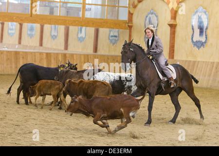 Lusitano Woman rider herding cattle riding hall - Stock Photo