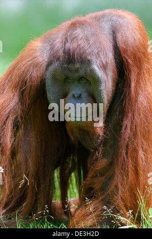 Orang utan male Pongo pygmaeus pygmaeus native to Bornéo, captive, Endangered - Stock Photo