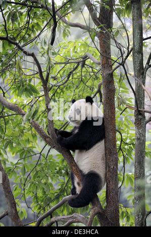 Giant panda climbing in a tree (Ailuropoda melanoleuca) in Bifengxia Giant Panda Breeding and Conservation Center, - Stock Photo