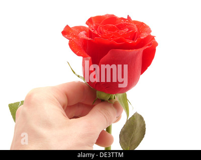 Rose and arm on a white background  - Stock Photo