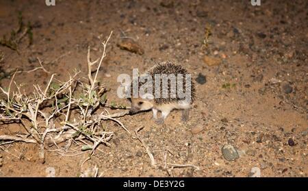 a long-eared hedgehog Hemiechinus auritus in the Gobi Desert of Mongolia - Stock Photo