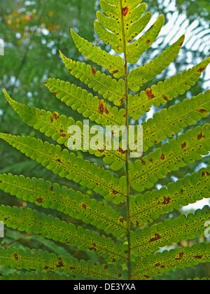Golden polypody, Golden serpent fern, Cabbage palm fern Phlebodium aureum - Stock Photo