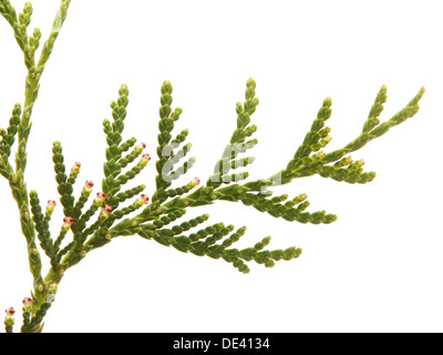 green arborvitae branch on a white background - Stock Photo