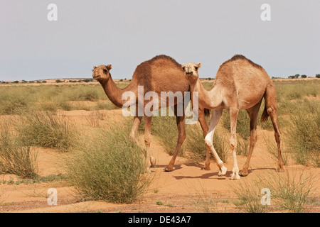 Dromedary camels in grass grazing area in desert of Western Sahara after recent rare rainfall, Mauritania - Stock Photo