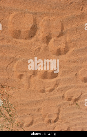 Dromedary camels hoof prints in desert of Western Sahara after recent rare rainfall, Mauritania - Stock Photo