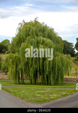 Weeping Willow Tree, Eastleach Turville, Gloucestershire, England - Stock Photo