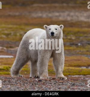 Polar bear, Spitsbergen Island, Svalbard, Norway - Stock Photo