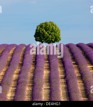 Tree on the top of the hill in lavender field. - Stock Photo