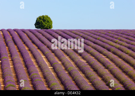 Tree on the top of the hill in lavender field. Provence, France. - Stock Photo