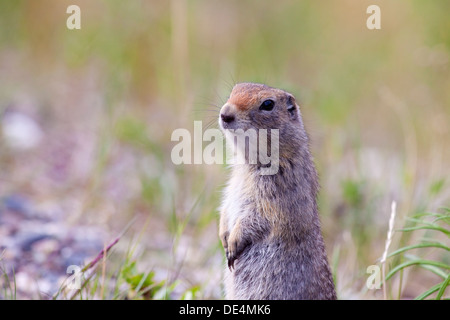 Arctic ground squirrel - Spermophilus parryii -, Denali National Park, Alaska, USA - Stock Photo