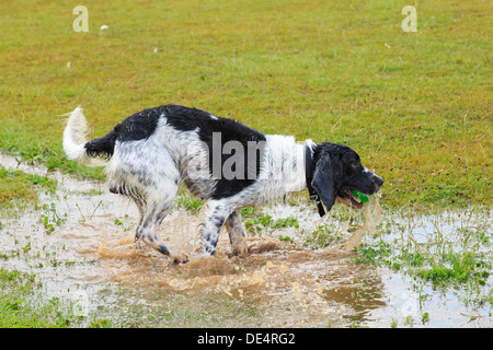 Soaking wet black and White English Springer Spaniel dog running in a puddle of water to retrieve a ball. England, - Stock Photo